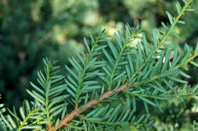 Taxus ×media 'Everlow' (Everlow Anglo-Japanese Yew), leaf, lower surface
