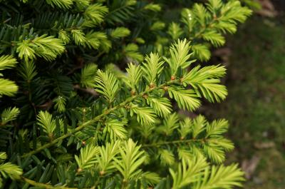 Taxus ×media 'Ershzam' (ERIE SHORES™ Anglo-Japanese Yew), leaf, spring
