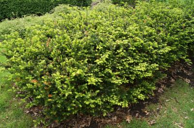 Taxus ×media 'Ershzam' (ERIE SHORES™ Anglo-Japanese Yew), habit, spring