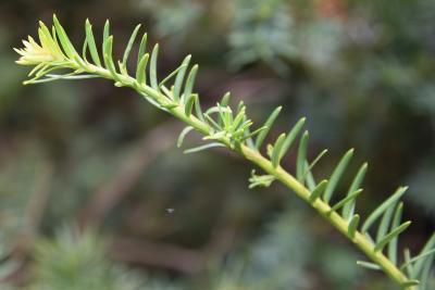 Taxus ×media 'Farmen' (Farmen Anglo-Japanese Yew), leaf, new