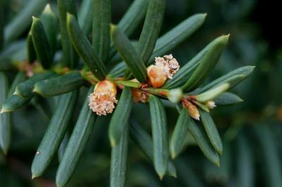 Taxus ×media 'Everlow' (Everlow Anglo-Japanese Yew), pollen cone