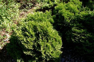 Thuja occidentalis 'Hetz' Midget' (Hetz' Midget Eastern Arborvitae), habit, spring