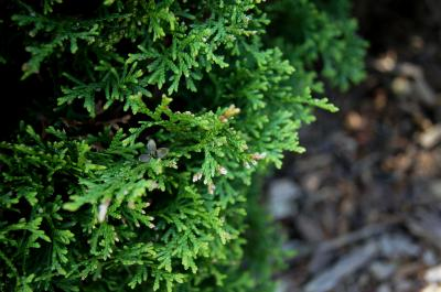 Thuja occidentalis 'Hetz' Midget' (Hetz' Midget Eastern Arborvitae), leaf, spring