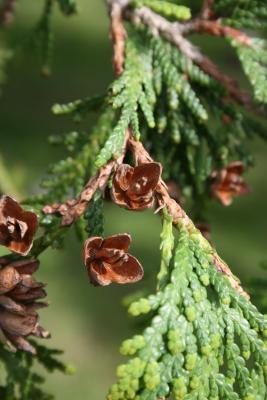Thuja occidentalis (Eastern Arborvitae), cone, mature