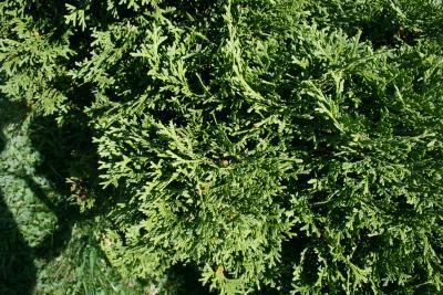 Thuja occidentalis 'Globosa' (Globe Eastern Arborvitae), leaf, summer