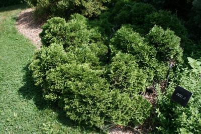 Thuja occidentalis 'Globosa' (Globe Eastern Arborvitae), habit, summer