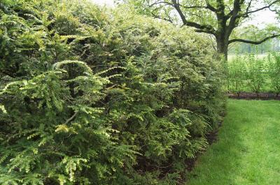 Tsuga canadensis (Eastern Hemlock), habit, spring