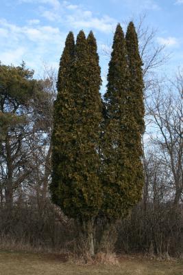 Thuja occidentalis (Eastern Arborvitae), habit, winter