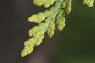 Thuja occidentalis (Eastern Arborvitae), leaf, upper surface
