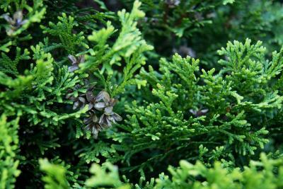 Thuja occidentalis 'Hetz' Midget' (Hetz' Midget Eastern Arborvitae), cone, mature
