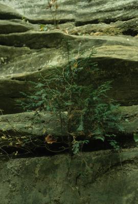 Thuja occidentalis (Eastern Arborvitae), habitat