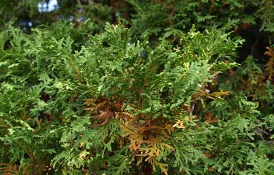 Thuja occidentalis (Eastern Arborvitae), leaf, summer