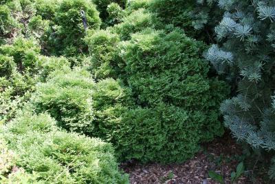 Thuja occidentalis 'Hetz' Midget' (Hetz' Midget Eastern Arborvitae), habit, summer