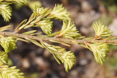Tsuga canadensis 'Moon Frost' (Moon Frost Dwarf Eastern Hemlock), bark, twig