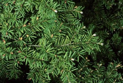 Tsuga caroliniana (Carolina Hemlock), bark, branch, buds