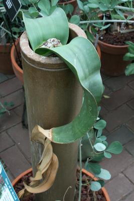 Welwitschia mirabilis (Welwitschia), leaf, upper surface