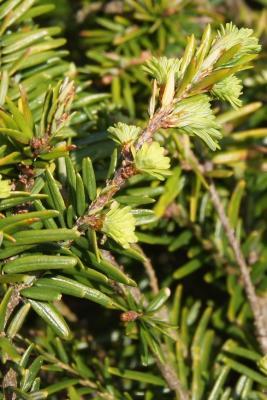 Tsuga canadensis 'Kingsville #1' (Kingsville #1 Eastern Hemlock), bark, twig