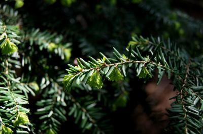 Tsuga canadensis 'Pendula' (Weeping Eastern Hemlock), leaf, spring