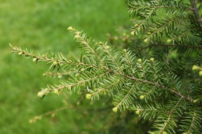 Tsuga canadensis (Eastern Hemlock), leaf, spring