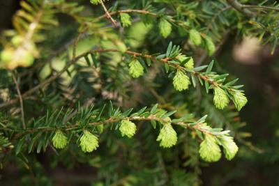 Tsuga canadensis (Eastern Hemlock), leaf, new
