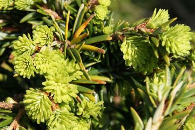 Tsuga canadensis 'Kingsville #1' (Kingsville #1 Eastern Hemlock), leaf, new