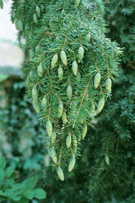 Tsuga caroliniana (Carolina Hemlock), cone, immature