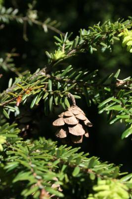 Tsuga canadensis (Eastern Hemlock), cone, mature