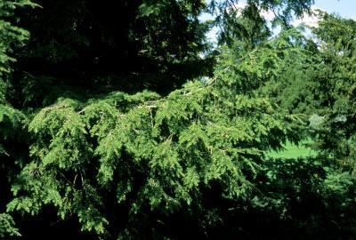 Tsuga canadensis (Eastern Hemlock), bark, branch