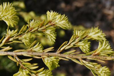 Tsuga canadensis 'Moon Frost' (Moon Frost Dwarf Eastern Hemlock), leaf, new
