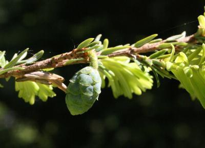 Tsuga canadensis (Eastern Hemlock), cone, immature