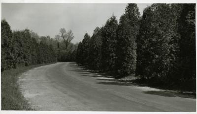 Arborvitaes along Lake Road, south side of Lake Marmo