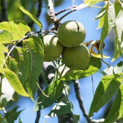 Juglans nigra (Black Walnut), fruit, mature