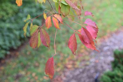 Acer cissifolium (Ivy-leaved Maple), leaf, fall