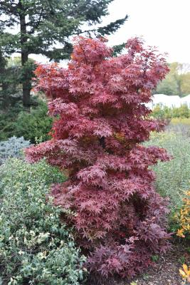 Acer palmatum 'Twombly's Red Sentinel' (Twombly's Red Sentinel Japanese Maple), habit, fall