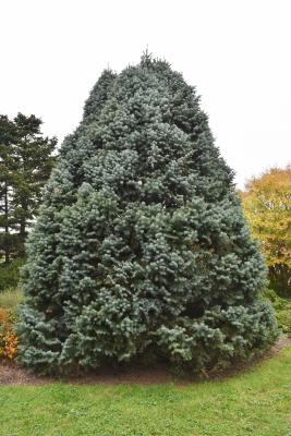Abies concolor 'Compacta' (Compact White Fir), habit, fall