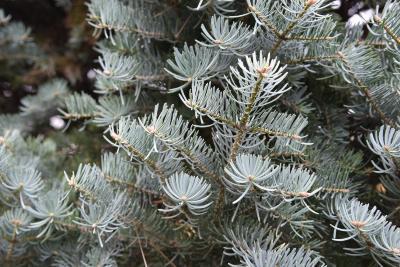 Abies concolor 'Compacta' (Compact White Fir), leaf, mature
