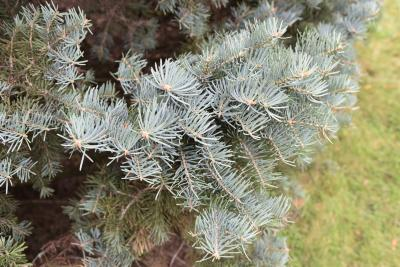 Abies concolor 'Compacta' (Compact White Fir), leaf, fall