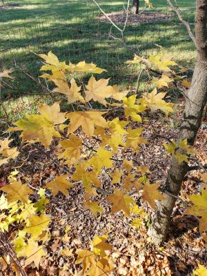 Acer mono (Painted Maple), leaf, fall