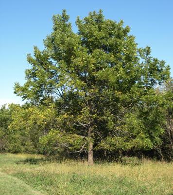 Juglans nigra (Black Walnut), habit, summer