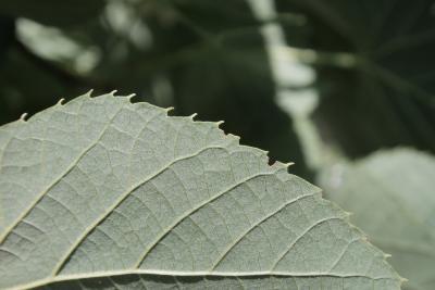 Tilia 'Zamoyskiana' (Zamoyski's Linden), leaf, margin
