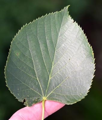 Tilia 'Zamoyskiana' (Zamoyski's Linden), leaf, upper surface