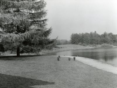 Geese near path along Meadow Lake