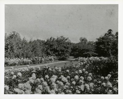 Morton Residence grounds at Thornhill, peonies along Joy Path