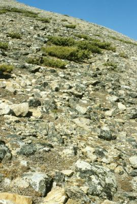 Pinus albicaulis (Whitebark Pine), habitat