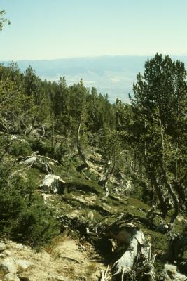 Pinus albicaulis (Whitebark Pine), Abies lasiocarpa (Subalpine Fir), habitat
