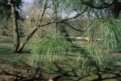 Pinus ×schwerinii (Schwerin's Pine), habit, spring