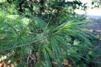 Pinus ×schwerinii (Schwerin's Pine), leaf, mature
