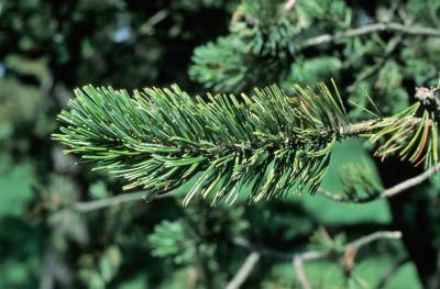Pinus aristata (Rocky Mountain Bristlecone Pine), leaf, mature