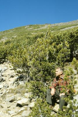 Pinus albicaulis (Whitebark Pine), Ray Schulenberg, habitat