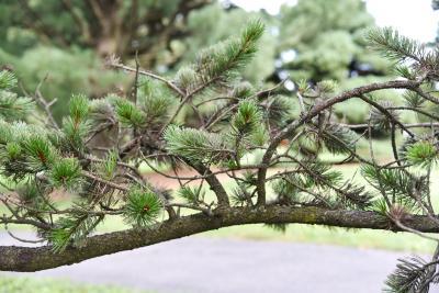 Pinus aristata (Rocky Mountain Bristlecone Pine), bark, branch